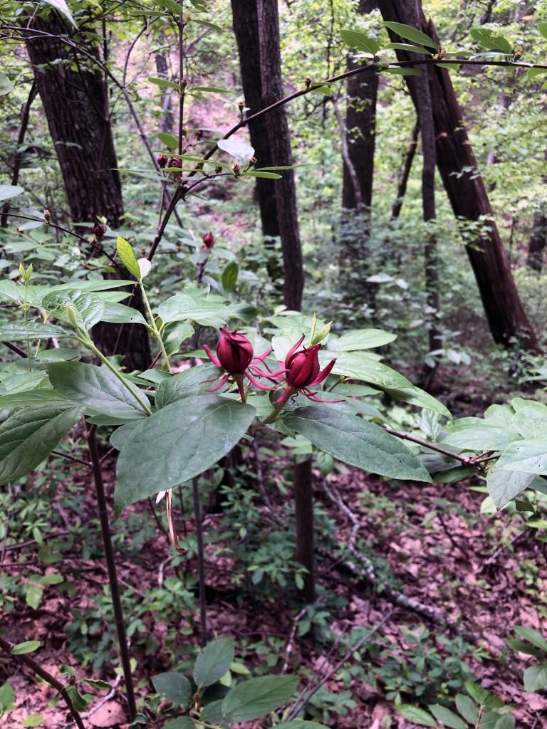 Eastern Sweetshrub growing on a Georgia hiking trail.