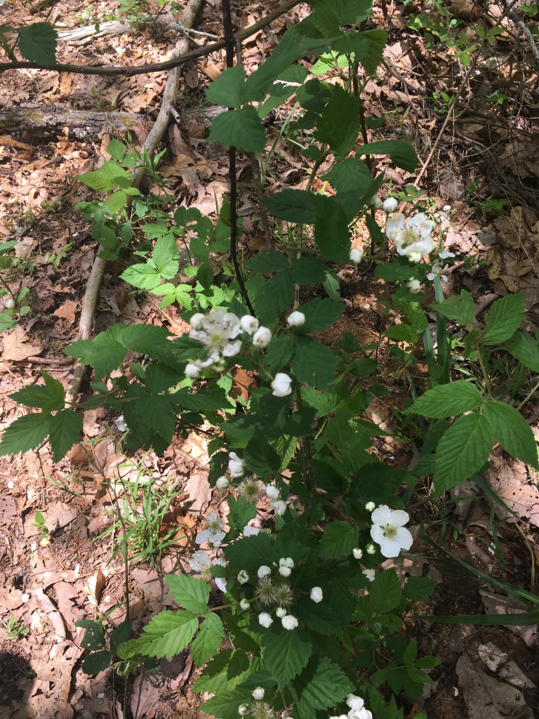 Common Blackberry growing on a hiking trail.